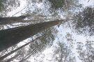Kalatha Giant