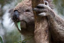 Koala Conservation Centre, Cowes, Australia