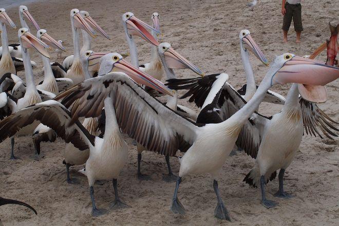 Pelican Feeding, Labrador, Australia