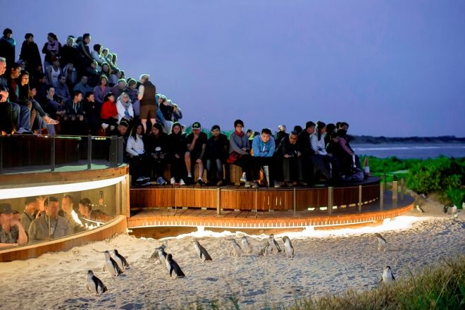 Penguin Parade, Summerlands, Australia