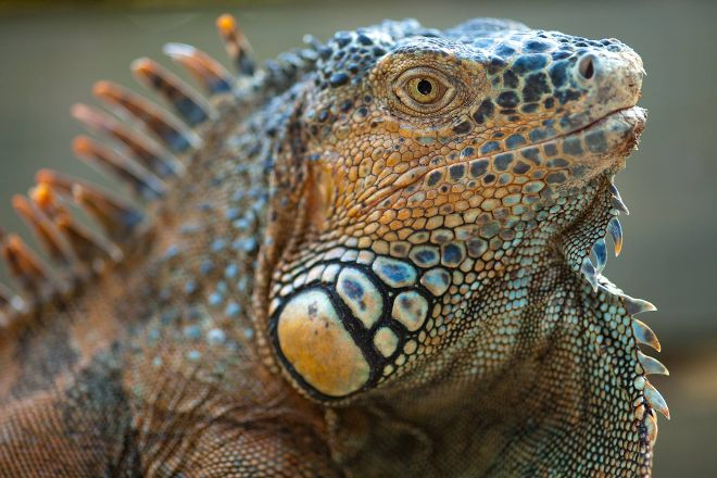 Green Iguana Conservation Project, San Ignacio, Belize