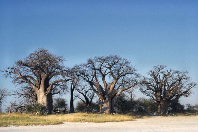 Baines Baobabs, Nxai Pan National Park, Botswana