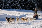 Golden Dog Sled Adventures