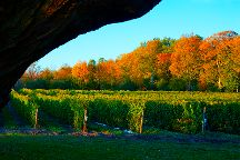 By Chadsey's Cairns Winery and Vineyard, Wellington, Canada