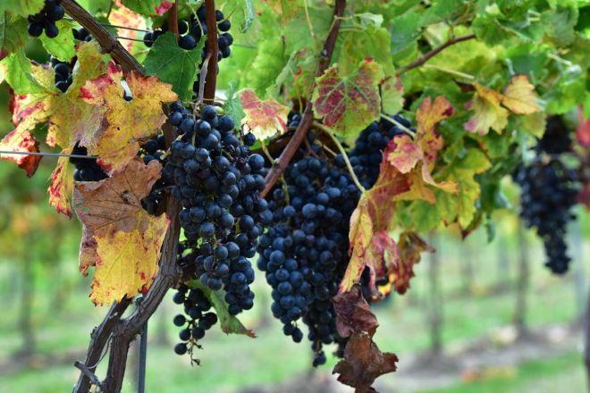 Oxley Estate Winery, Harrow, Canada