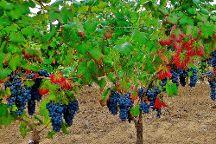 Erasmo Organic vineyard and winery, San Javier, Chile