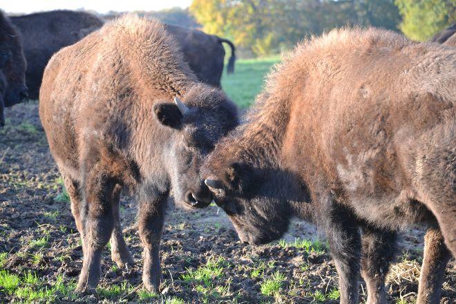 Ditlevsdal Bison Farm, Morud, Denmark