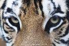 Caresse de Tigre