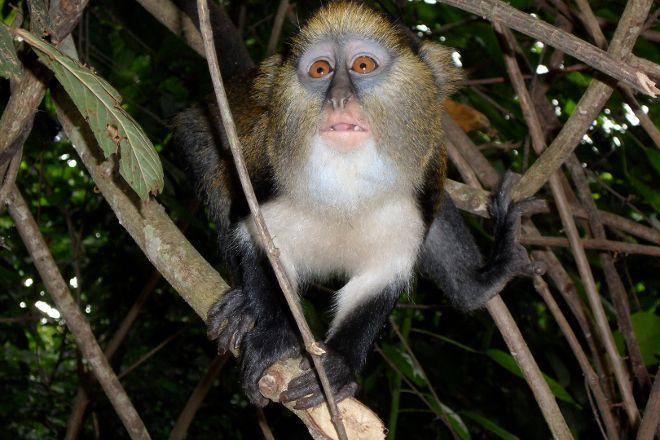 Boabeng-Fiema Monkey Sanctuary, Senya Beraku, Ghana