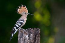 Wings of Hungary - birding and nature tours, Kecskemet, Hungary