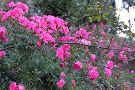 Rose Garden, Solophok