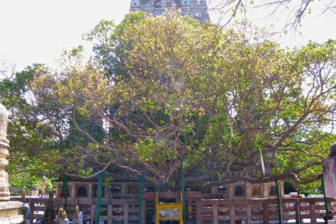 Bodhi Tree, Bodh Gaya, India