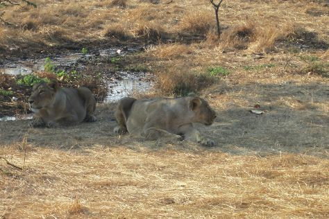 Devalia Safari Park, Sasan Gir, India