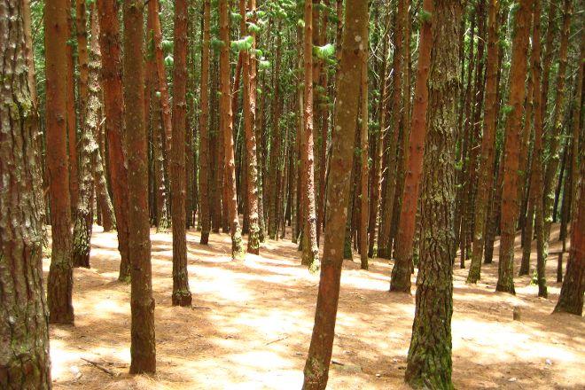 Pine Forest, Kodaikanal, India