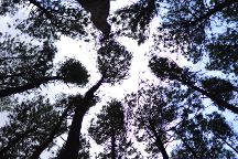 Imogiri Pine Forest, Imogiri, Indonesia