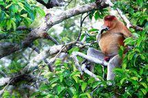 Orangutan Applause - Day Tours, Pangkalan Bun, Indonesia