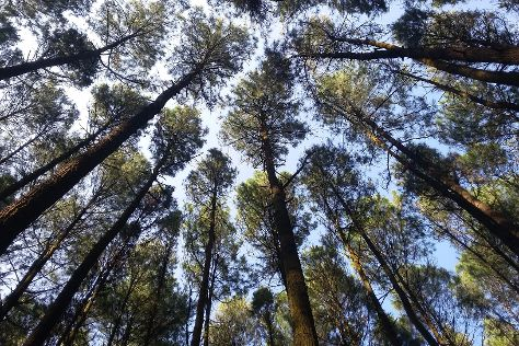 Asri Pine Forest, Bantul, Indonesia