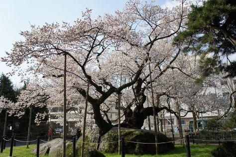 Rock-breaking Cherry Tree, Morioka, Japan