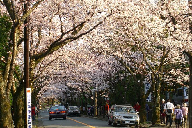 Cherry Blossom Trees at Izu Kogen Highlands, Ito, Japan