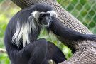 Colobus Conservation