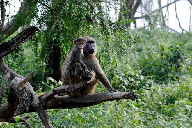 Baboons & Vervits, Lake Nakuru National Park, Kenya