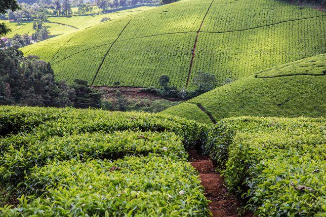 Kiambethu Farm, Limuru, Kenya