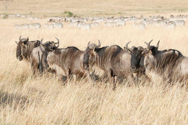 Olare Orok Conservancy, Maasai Mara National Reserve, Kenya
