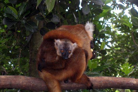 Black Lemur Sanctuary, Nosy Komba, Madagascar