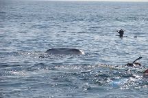 Mexico Whale Shark, Cancun, Mexico