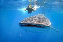 Whale Shark Encounter by Cabo Adventures, Cabo San Lucas, Mexico