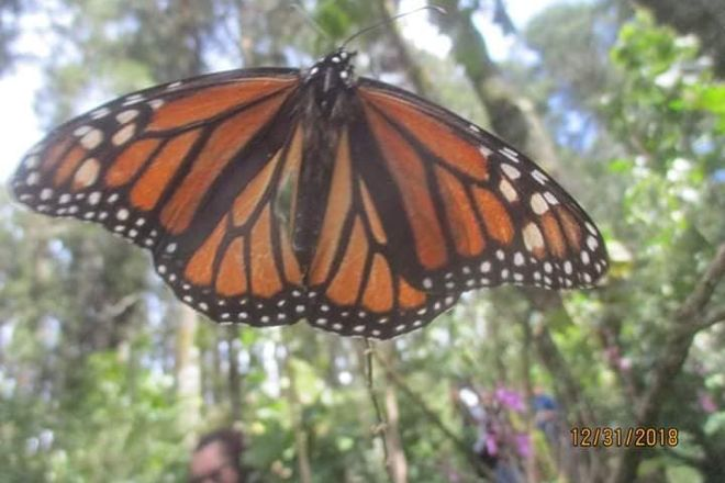 Mariposa Monarca, Angangueo, Mexico