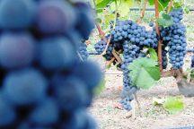 Wine Tasting - Winery Mašanović