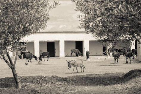 Jarjeer Mules, Oumnass, Morocco