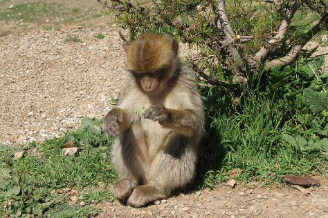 Monkey Watch, Azrou, Morocco