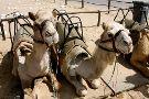 Swakopmund Camel Farm