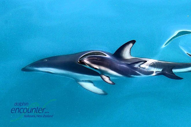 Dolphin Encounter, Kaikoura, New Zealand