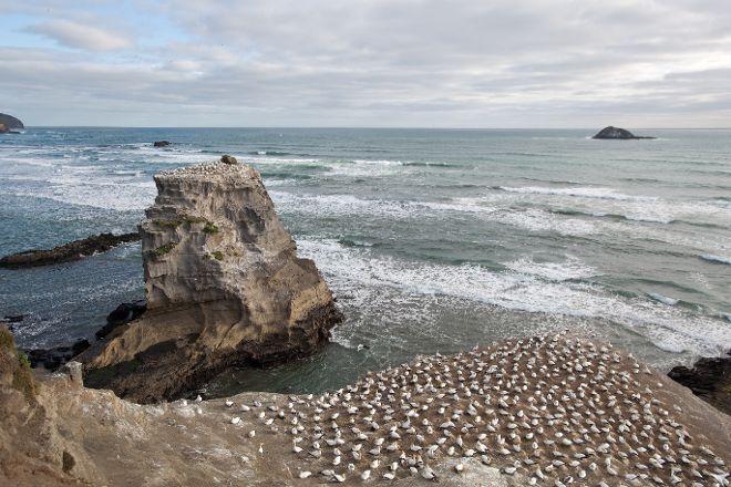 Gannet Colony, Clifton, New Zealand