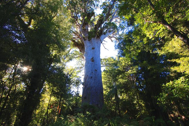 Tane Mahuta Walk, Opononi, New Zealand