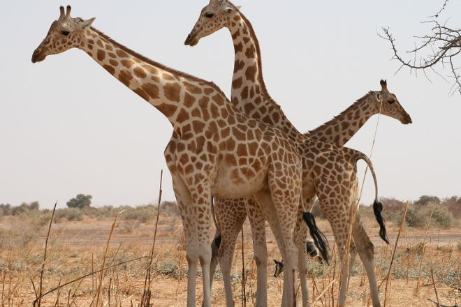Koure Giraffe Reserve, Koure, Niger