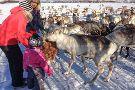 Tromso Arctic Reindeer