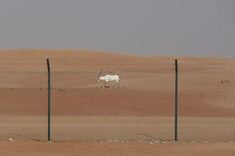 Arabian Oryx Sanctuary, Al Wusta Governorate, Oman