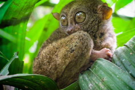 Philippine Tarsier Recreation Inc., Tawala, Philippines