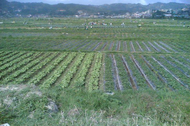 Strawberry Farm, La Trinidad, Philippines