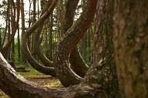 Crooked Forest, Gryfino, Poland