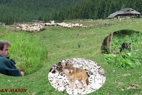 Transylvanian Wolf, Zarnesti, Romania