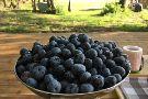 Berry Farm - Blueberry Farm