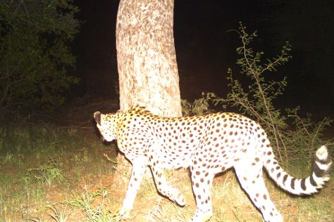 Cheetah Outreach - Somerset West, Somerset West, South Africa