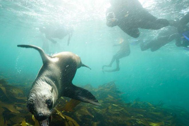 Animal Ocean Seal Snorkeling, Hout Bay, South Africa