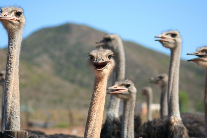 Cango Ostrich Show Farm, Oudtshoorn, South Africa