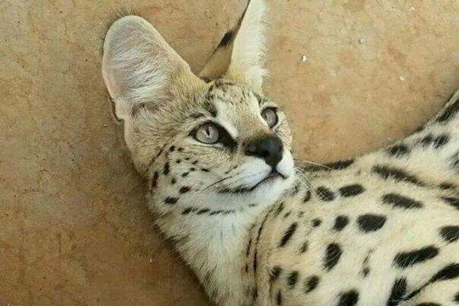 Zanchieta Lodge and Wild Cat Reserve, Bloemfontein, South Africa
